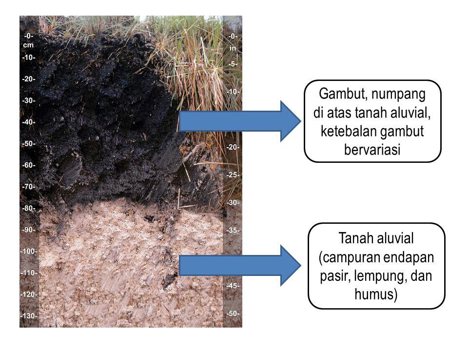 Gambut, numpang di atas tanah aluvial, ketebalan gambut bervariasi