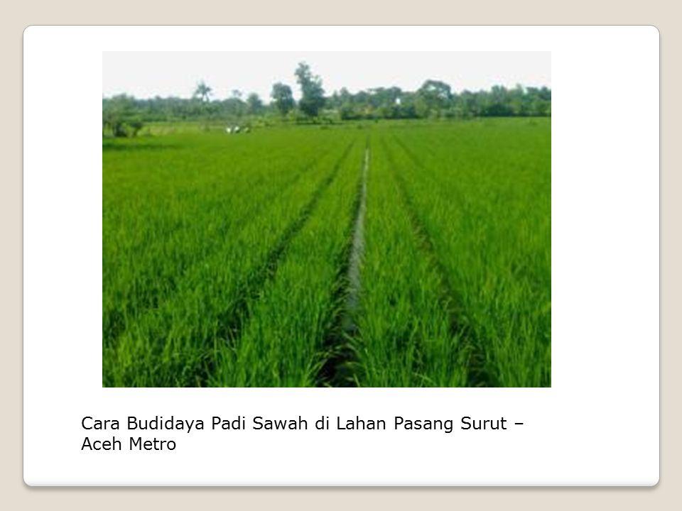 Cara Budidaya Padi Sawah di Lahan Pasang Surut – Aceh Metro
