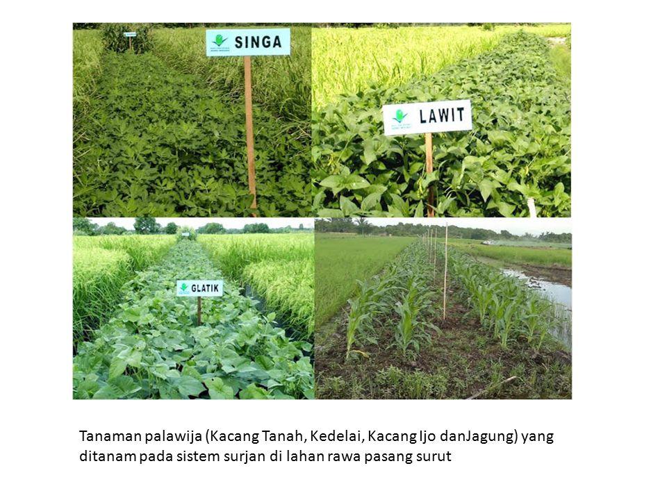 Tanaman palawija (Kacang Tanah, Kedelai, Kacang Ijo danJagung) yang ditanam pada sistem surjan di lahan rawa pasang surut