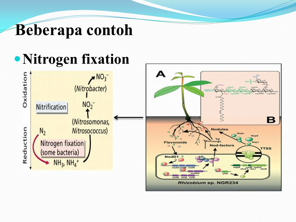 Beberapa contoh Nitrogen fixation