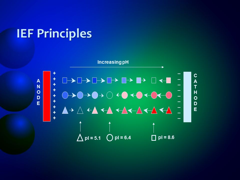 IEF Principles A N O D E + _ C T H Increasing pH pI = 8.6 pI = 6.4