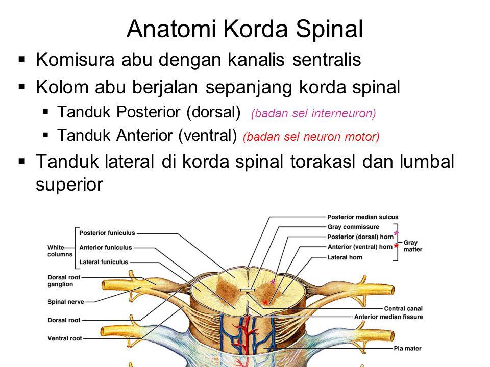 Anatomi Korda Spinal Komisura abu dengan kanalis sentralis