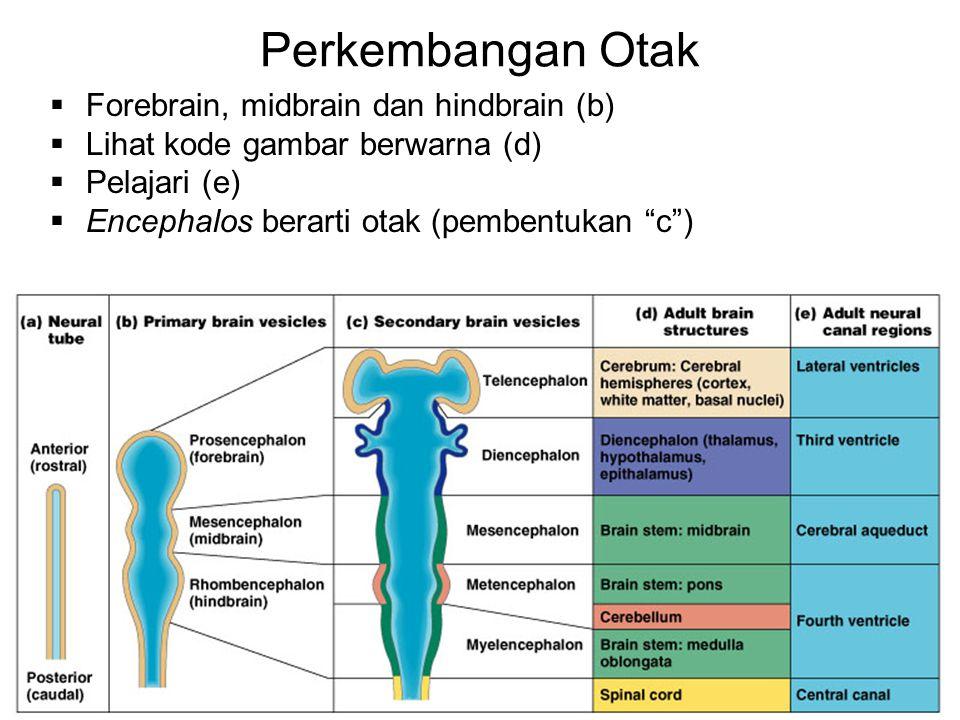 Perkembangan Otak Forebrain, midbrain dan hindbrain (b)