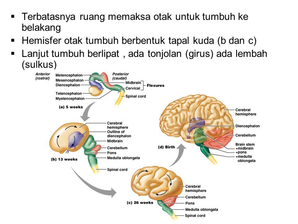Terbatasnya ruang memaksa otak untuk tumbuh ke belakang