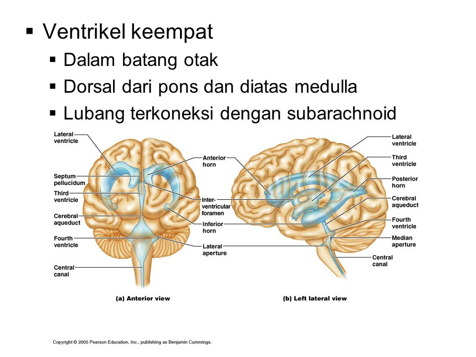 Ventrikel keempat Dalam batang otak