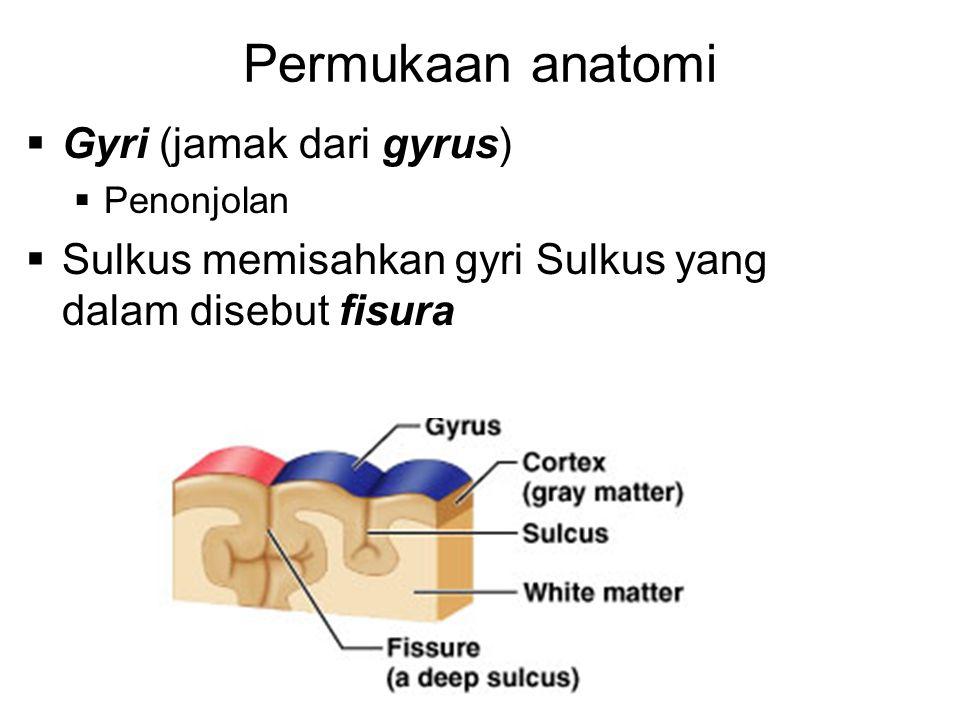 Permukaan anatomi Gyri (jamak dari gyrus)