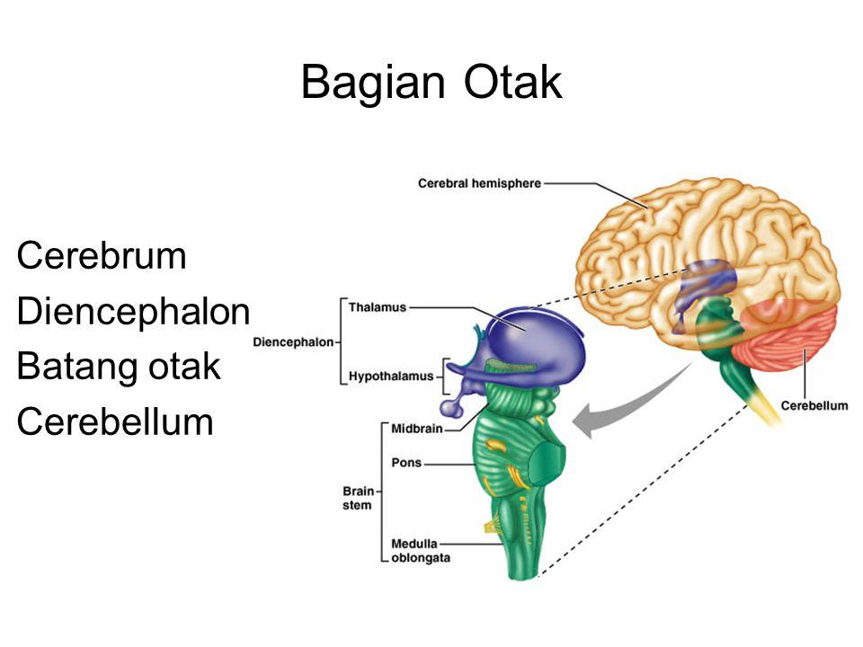 Bagian Otak Cerebrum Diencephalon Batang otak Cerebellum
