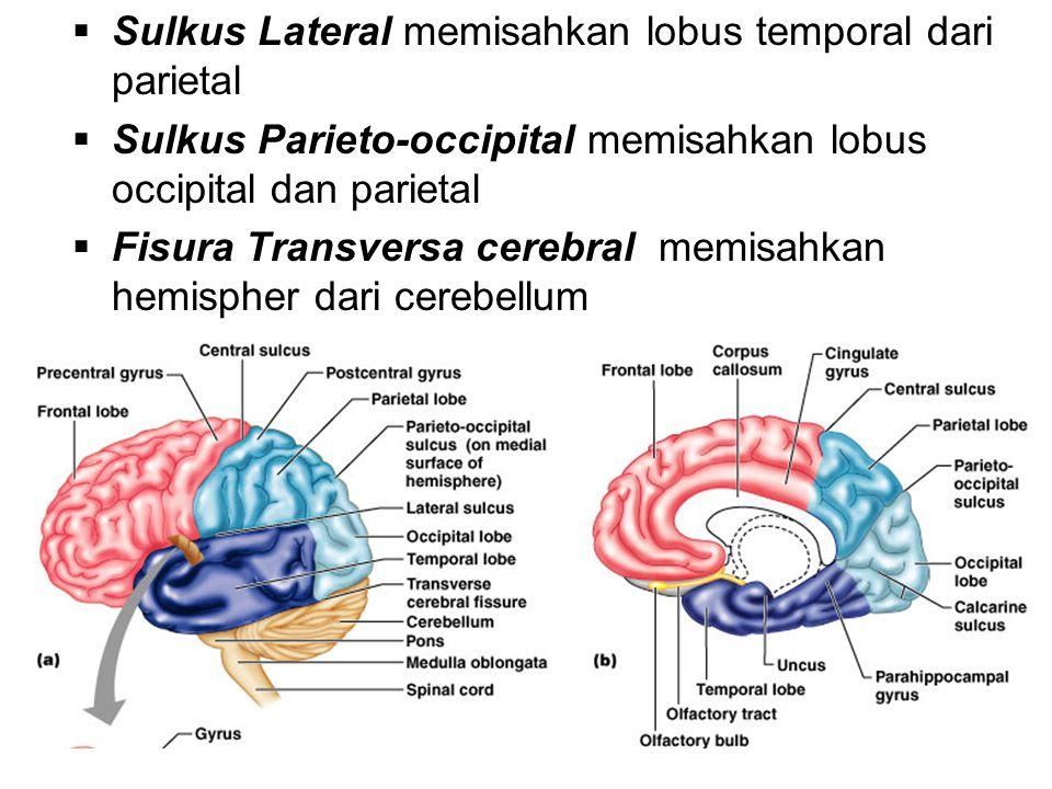 Sulkus Lateral memisahkan lobus temporal dari parietal