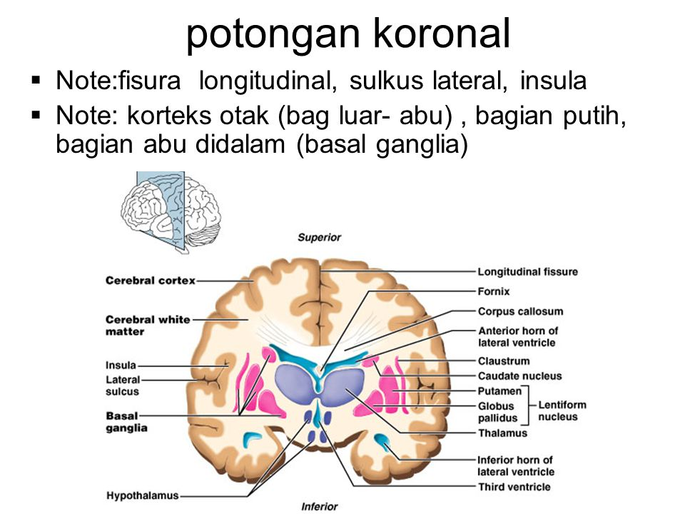 potongan koronal Note:fisura longitudinal, sulkus lateral, insula