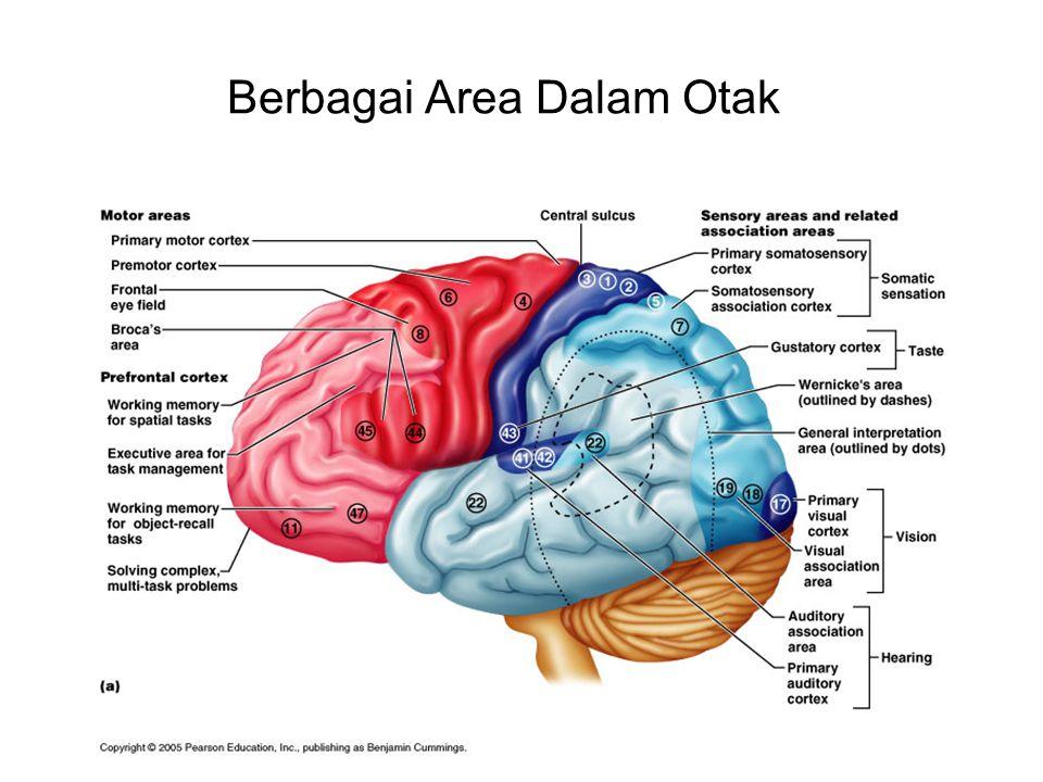 Berbagai Area Dalam Otak