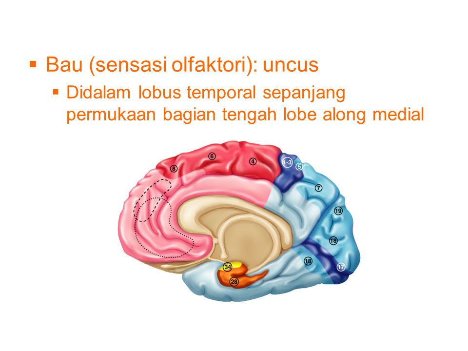 Bau (sensasi olfaktori): uncus