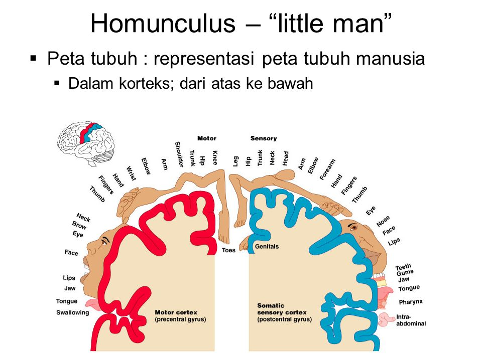 Homunculus – little man