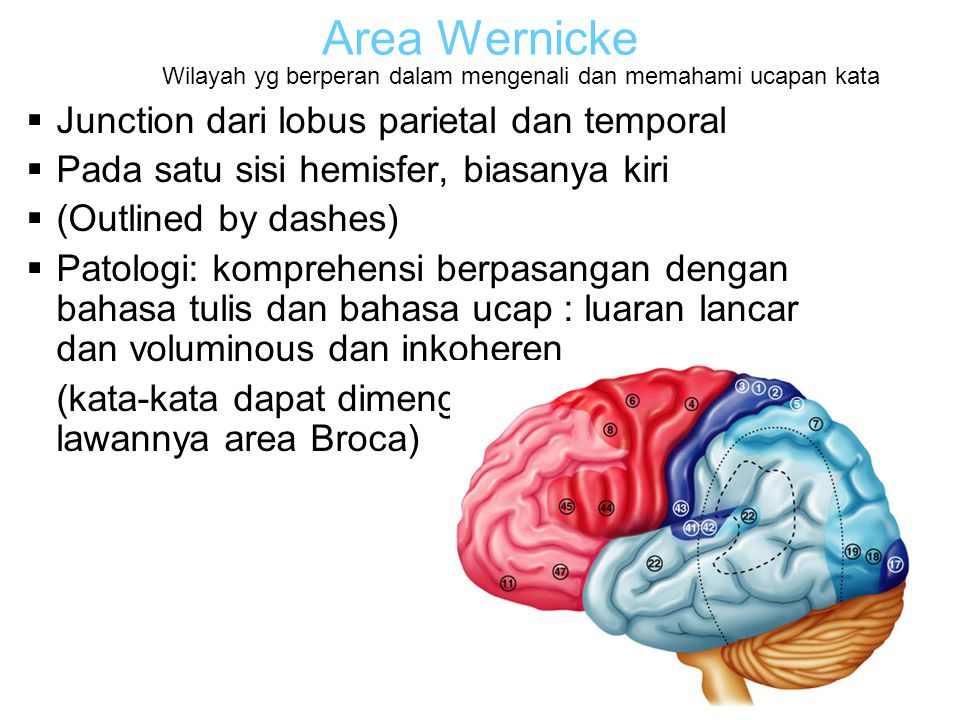 Area Wernicke Junction dari lobus parietal dan temporal