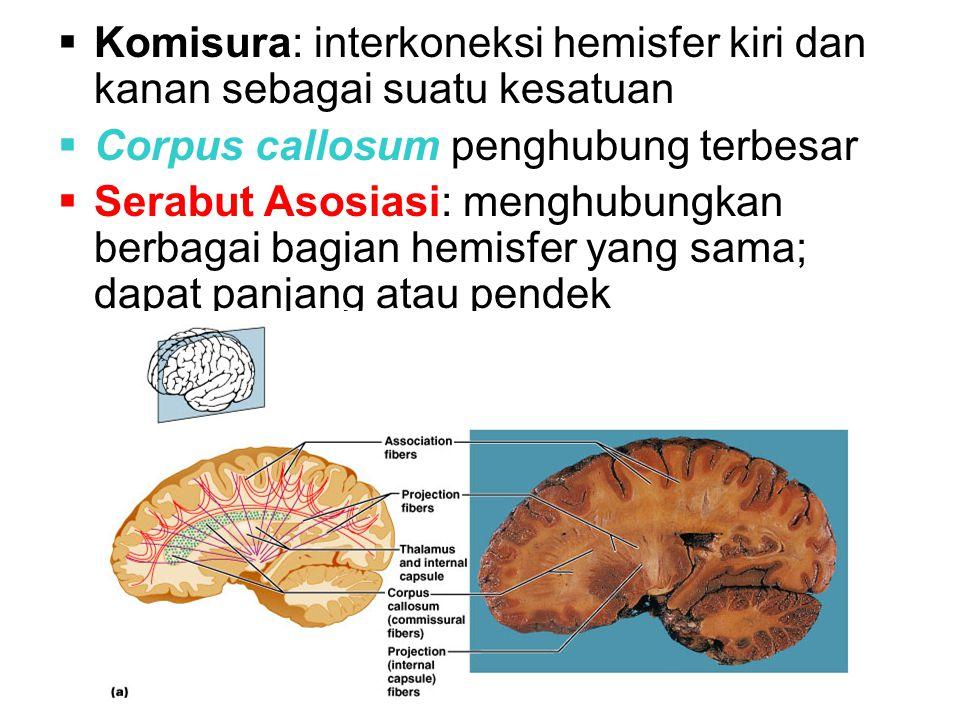 Komisura: interkoneksi hemisfer kiri dan kanan sebagai suatu kesatuan