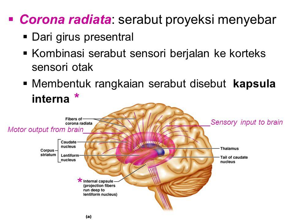 * Corona radiata: serabut proyeksi menyebar Dari girus presentral