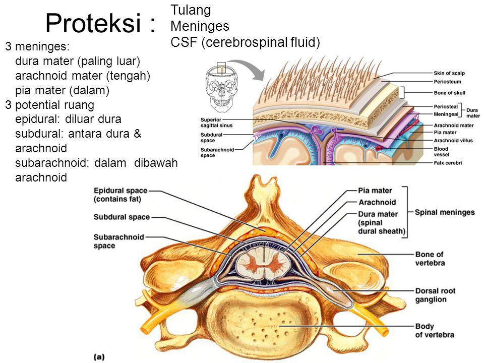 Proteksi : Tulang Meninges CSF (cerebrospinal fluid) 3 meninges: