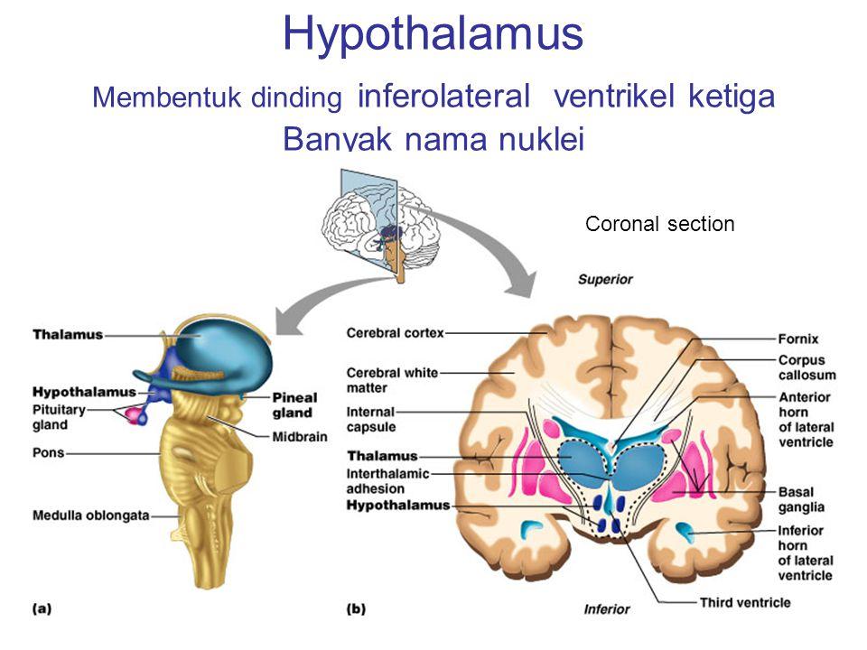 Hypothalamus Membentuk dinding inferolateral ventrikel ketiga Banyak nama nuklei