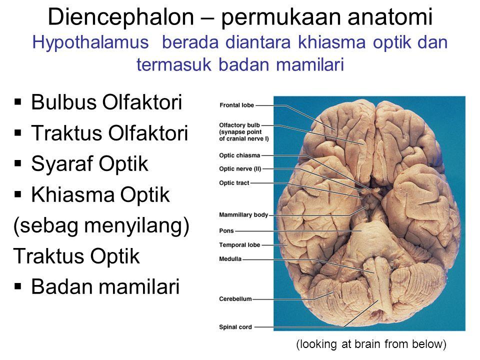 Diencephalon – permukaan anatomi Hypothalamus berada diantara khiasma optik dan termasuk badan mamilari