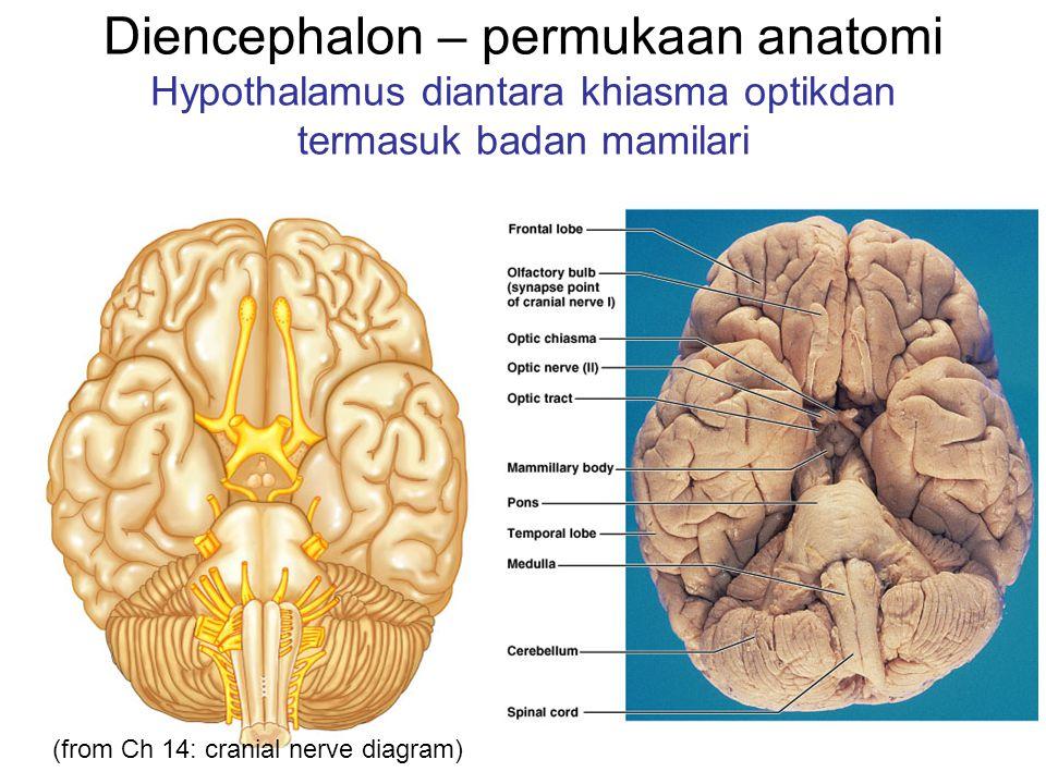 Diencephalon – permukaan anatomi Hypothalamus diantara khiasma optikdan termasuk badan mamilari