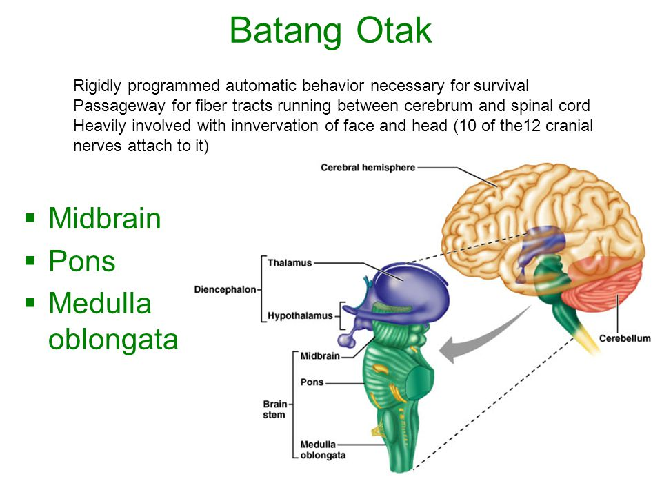 Batang Otak Midbrain Pons Medulla oblongata