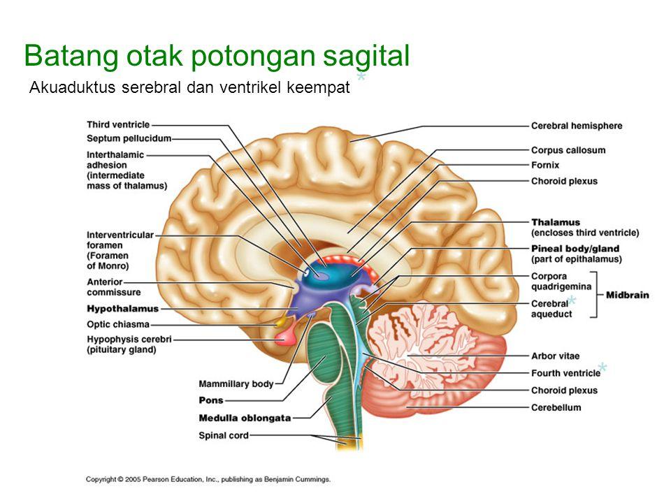 Batang otak potongan sagital