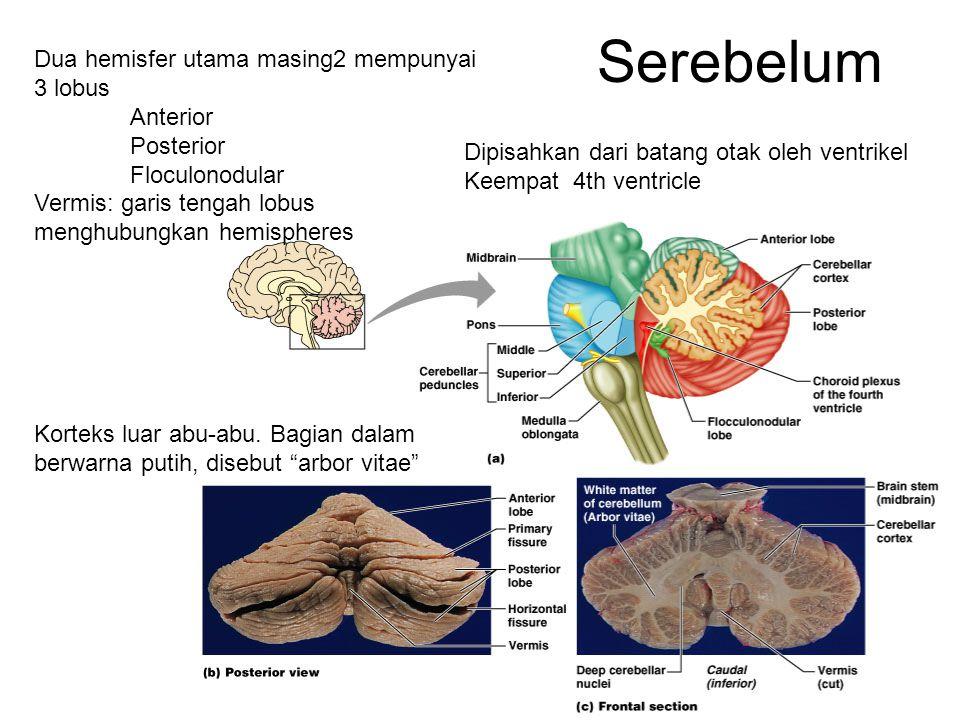 Serebelum Dua hemisfer utama masing2 mempunyai 3 lobus Anterior