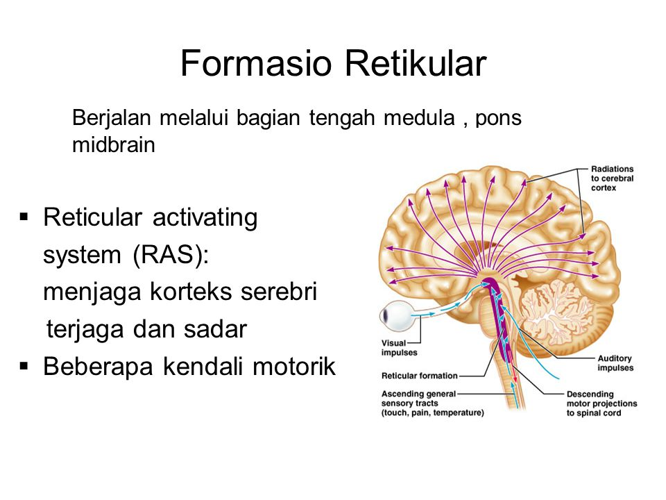 Formasio Retikular Reticular activating system (RAS):