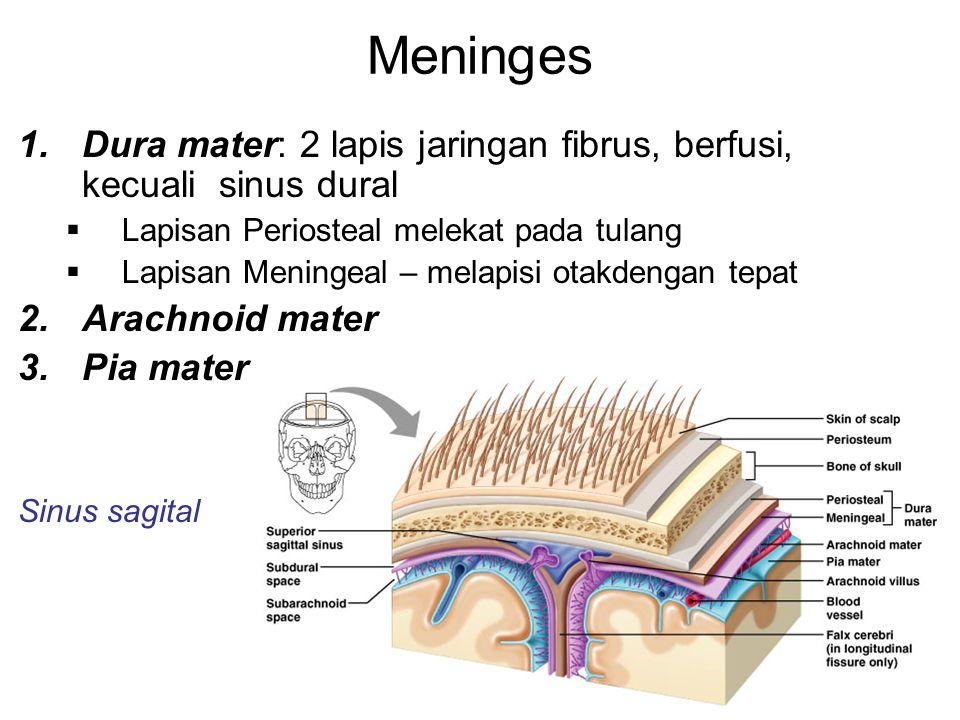 Meninges Dura mater: 2 lapis jaringan fibrus, berfusi, kecuali sinus dural. Lapisan Periosteal melekat pada tulang.