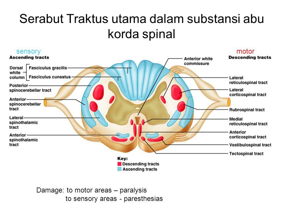 Serabut Traktus utama dalam substansi abu korda spinal