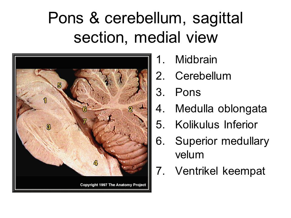 Pons & cerebellum, sagittal section, medial view