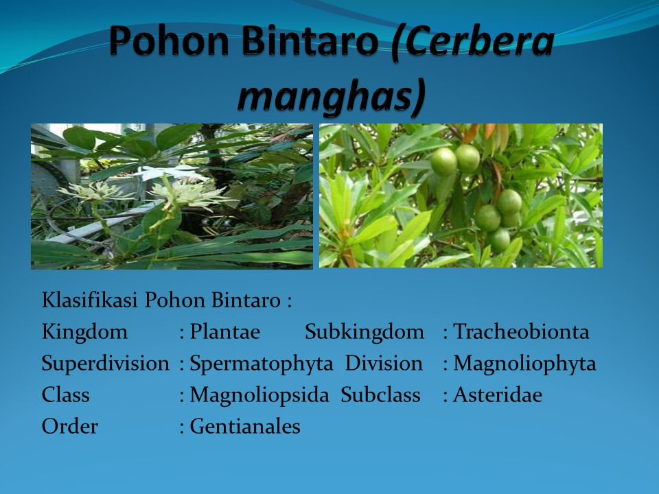 Pohon Bintaro (Cerbera manghas)