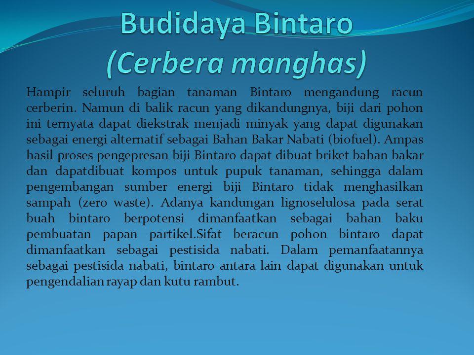 Budidaya Bintaro (Cerbera manghas)