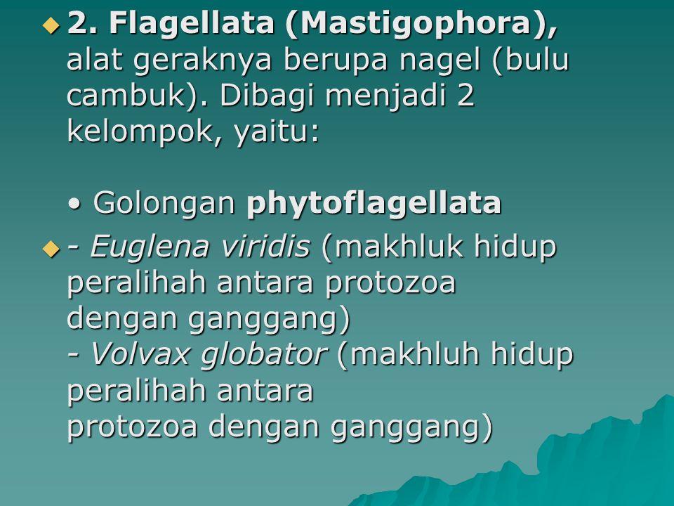 2. Flagellata (Mastigophora), alat geraknya berupa nagel (bulu cambuk)