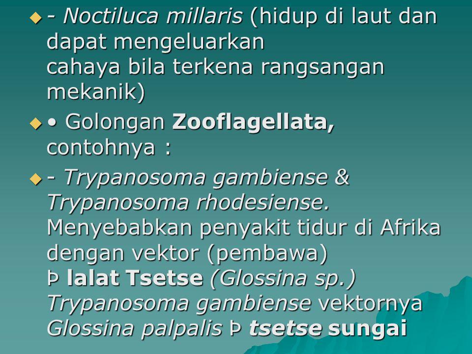 - Noctiluca millaris (hidup di laut dan dapat mengeluarkan cahaya bila terkena rangsangan mekanik)