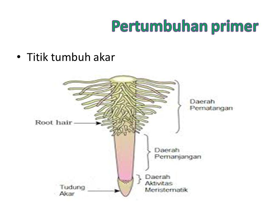 Pertumbuhan primer Titik tumbuh akar