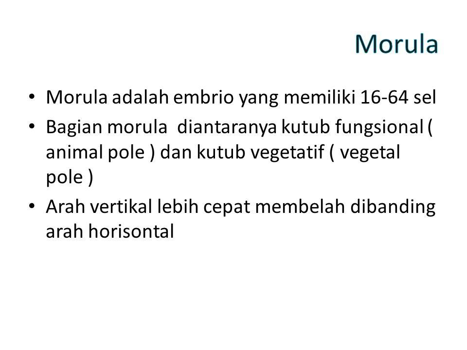 Morula Morula adalah embrio yang memiliki 16-64 sel