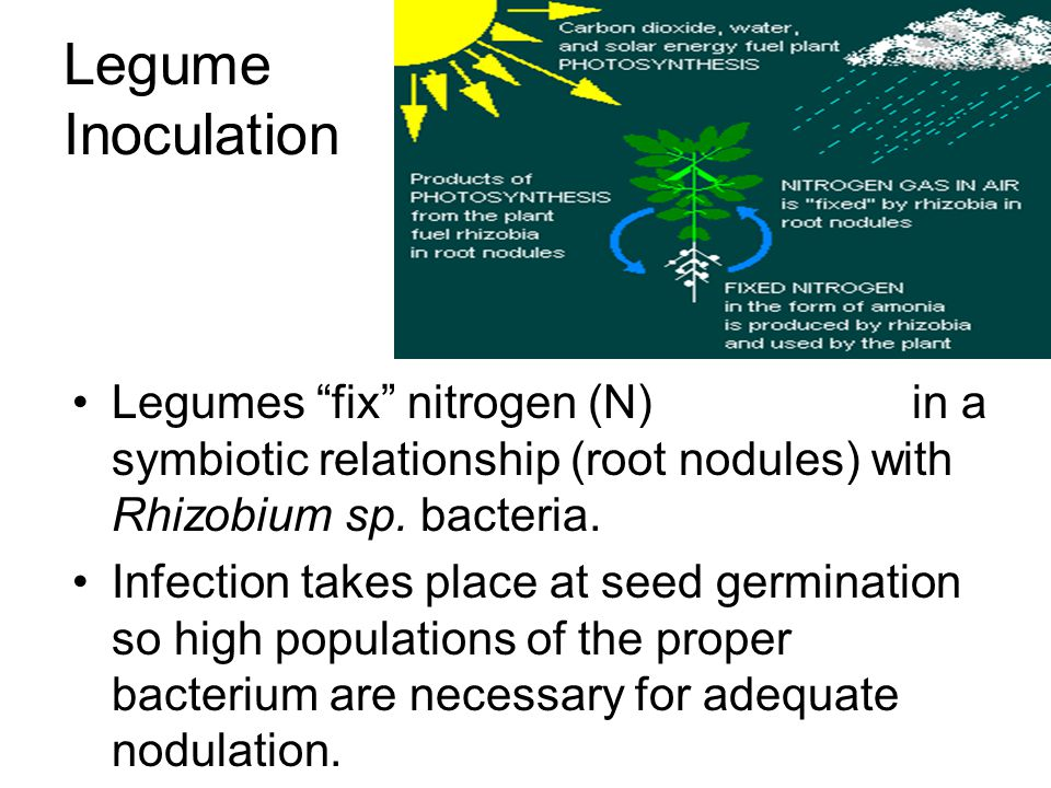 Legume Inoculation Legumes fix nitrogen (N) in a symbiotic relationship (root nodules) with Rhizobium sp. bacteria.