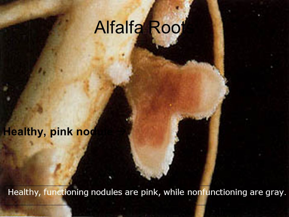 Alfalfa Roots Healthy, pink nodule 