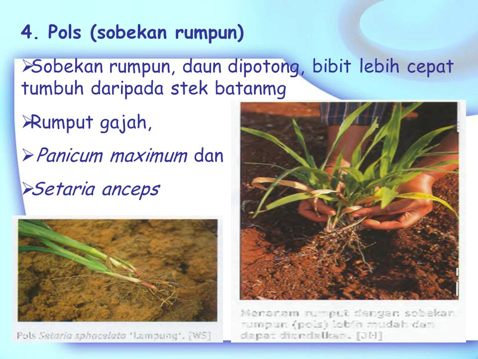 4. Pols (sobekan rumpun) Sobekan rumpun, daun dipotong, bibit lebih cepat tumbuh daripada stek batanmg.