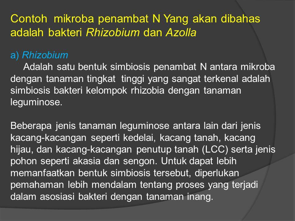 Contoh mikroba penambat N Yang akan dibahas adalah bakteri Rhizobium dan Azolla