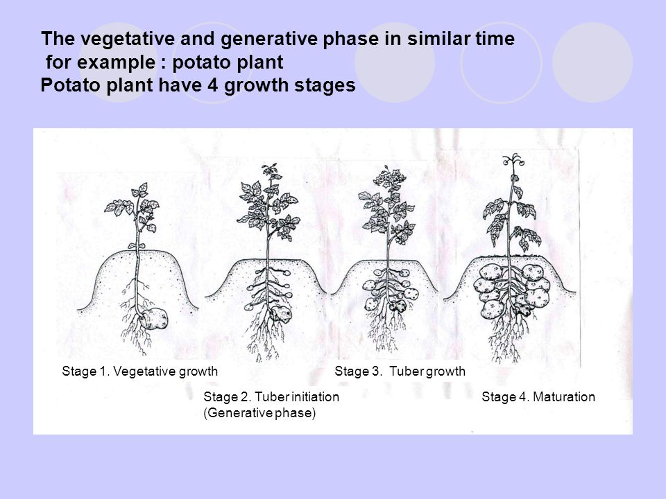 The vegetative and generative phase in similar time for example : potato plant Potato plant have 4 growth stages
