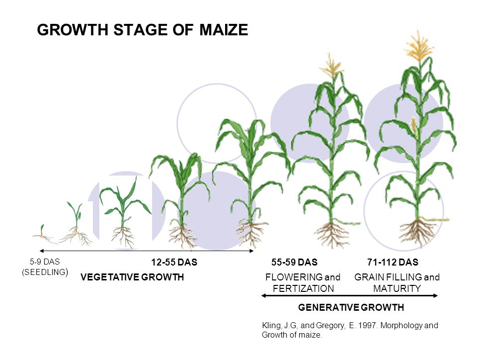 GROWTH STAGE OF MAIZE 12-55 DAS 55-59 DAS 71-112 DAS VEGETATIVE GROWTH