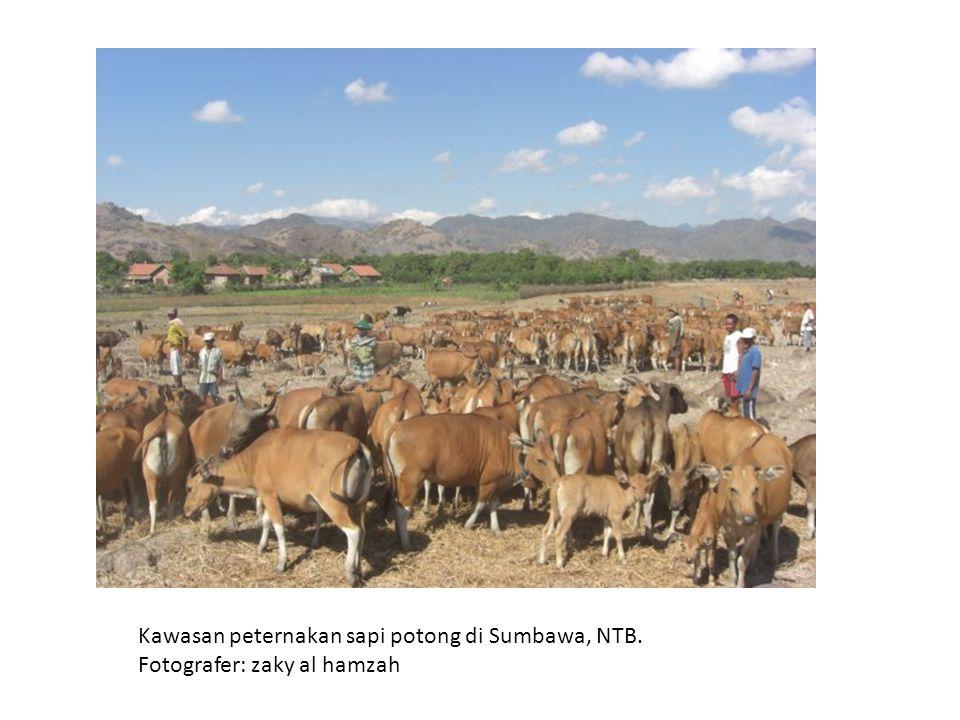 Kawasan peternakan sapi potong di Sumbawa, NTB