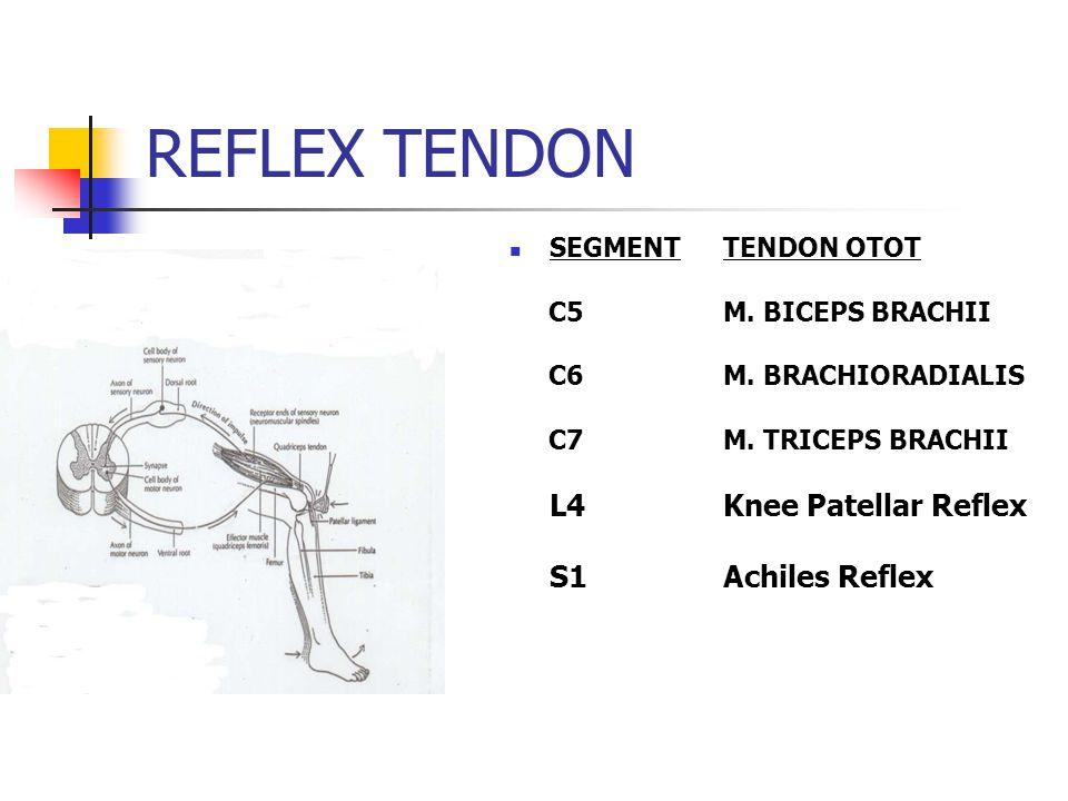 REFLEX TENDON S1 Achiles Reflex SEGMENT TENDON OTOT
