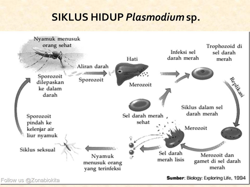 SIKLUS HIDUP Plasmodium sp.