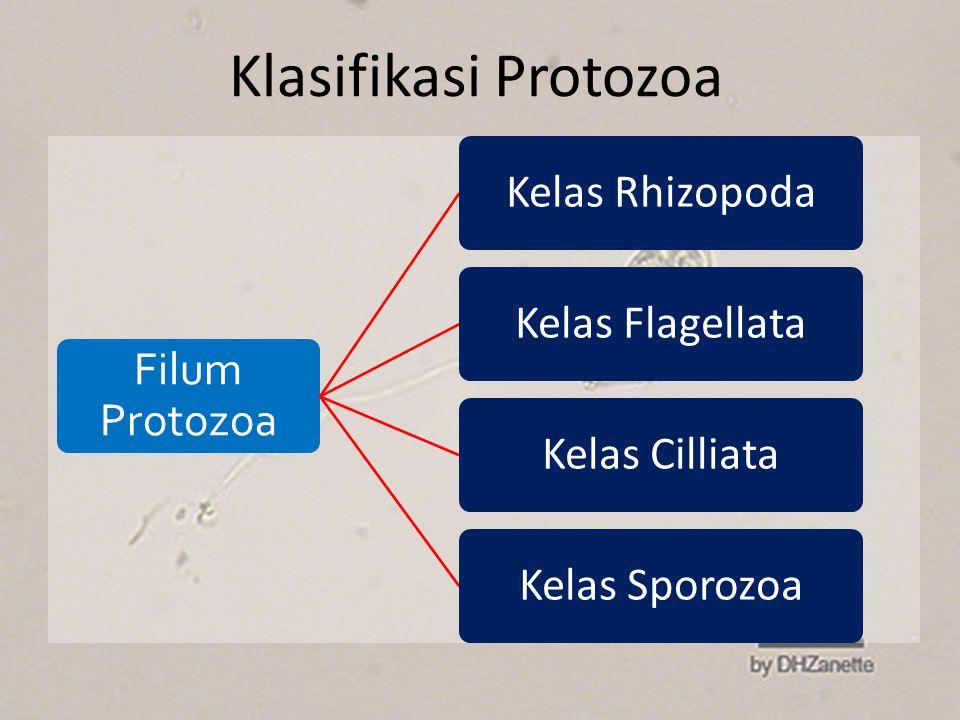 Klasifikasi Protozoa Filum Protozoa Kelas Rhizopoda Kelas Flagellata
