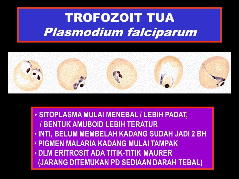 TROFOZOIT TUA Plasmodium falciparum