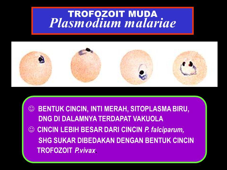 TROFOZOIT MUDA Plasmodium malariae