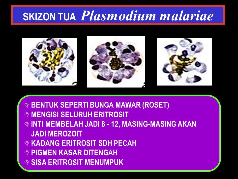 SKIZON TUA Plasmodium malariae