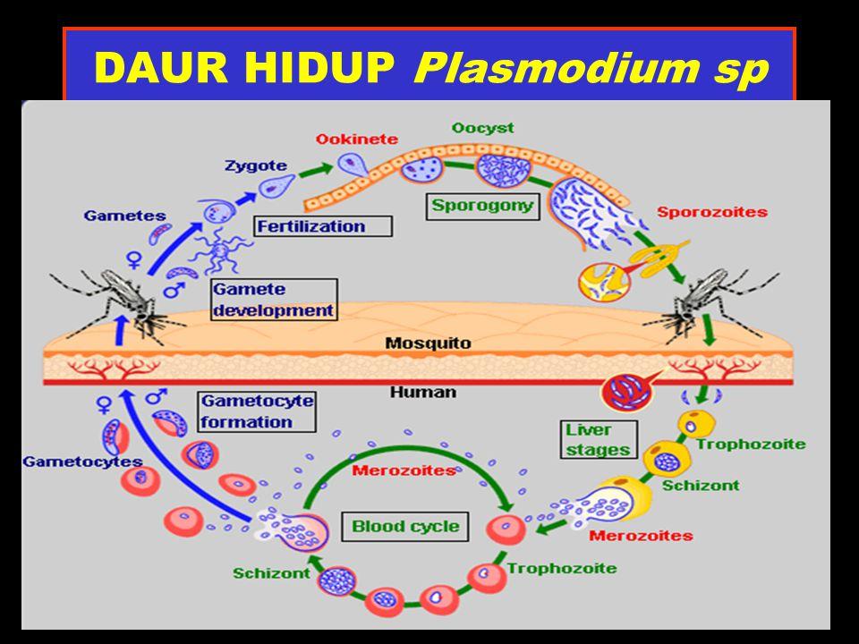 DAUR HIDUP Plasmodium sp